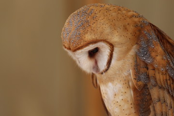 Portrait of a Common Barn Owl / Bird and wildlife photography