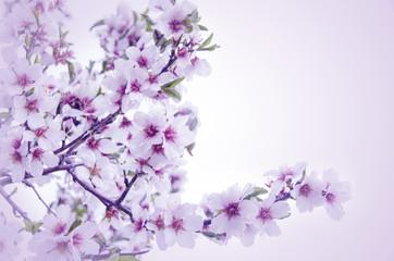 rama en flor de un almendro