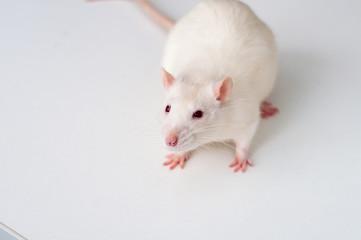 white lab rat isolated on white background