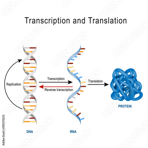 Dna Replication Protein Synthesis Transcription And Translation