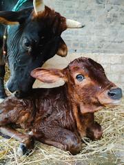 Mother cow licking her newborn calf