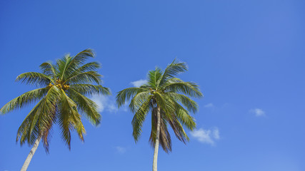 Twin coconut tree of the blue sky background with copyspace area for wording.