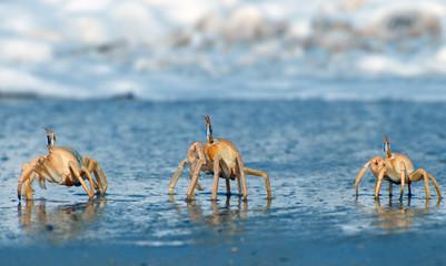 crabes au bord de l'eau, Saint Louis , Sénégal