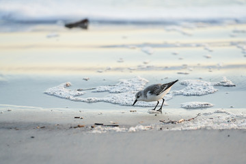 A bird bending down to investigate an item on the seashore. The sanderling is standing on the beach almost in the water.