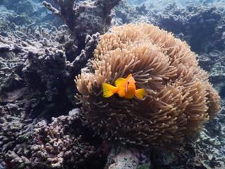 Anemonenfische mit Anemone Malediven