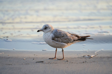 A lone bird stands on the beach near the water. It appears to be bored and cold, as it is early morning on the seashore.