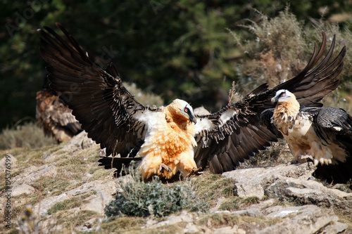 The Bearded Vulture Gypaetus Barbatus Also Known As The