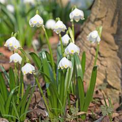 Märzenbecher, Leucojum vernum, Frühling