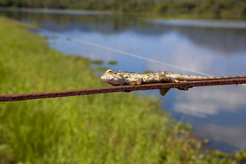 sri lankan chameleon
