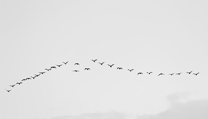 Birds cranes storks flying in a V shape  formation. Isolated on white bright sky. Isolated on white