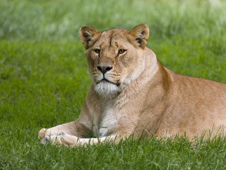 Closeup of African lioness