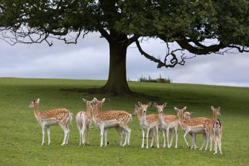 Axis deer under tree