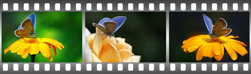 Blue butterflies on flowers in frame in form film.