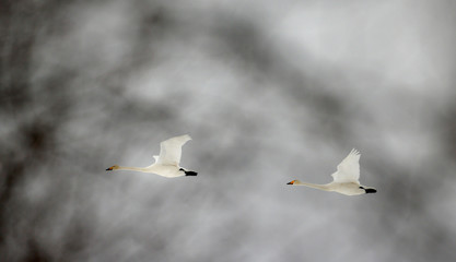 """Whooper swans fly over forest in Republican landscape reserve """"Naliboksky"""" near the village of Rum"""