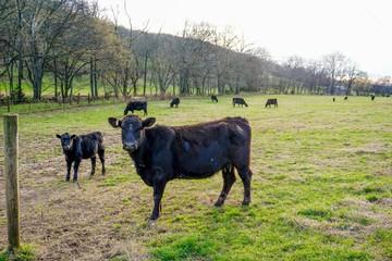 Attentive cows