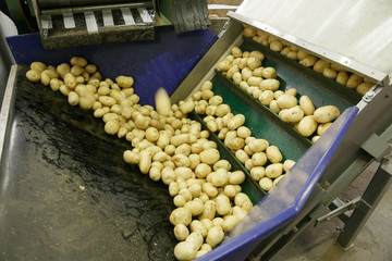 Fresh, cleaned and sorted potatoes on a conveyor belt