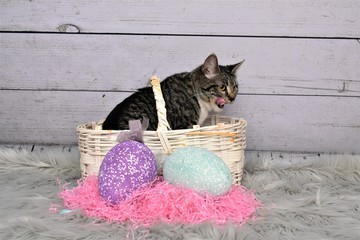 Tabby Manx Cat Sitting in an Easter basket