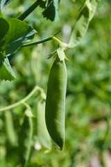 Close-up of a pod of green peas.