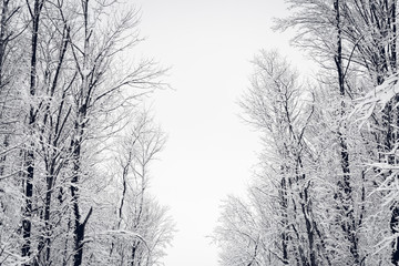 Snow-Covered Tree Tops in Black and White During Winter Snowstorm.