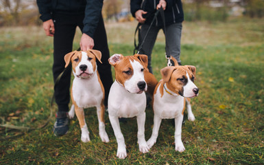 Three puppies of the American Staffordshire terrier are white and brown color from one brood. Spring nature.