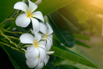 White plumeria flower on the tree with sun light and lens flare.