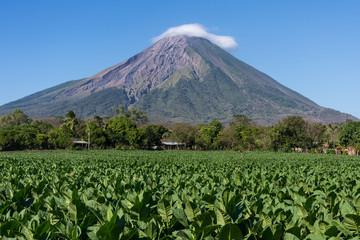 Plantation de tabac, Île d'Ometepe, Nicaragua