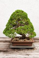 Bonsai Cedar Tree Growing in a Pot