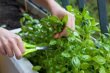 Home gardening, cutting herbs with paper scissors