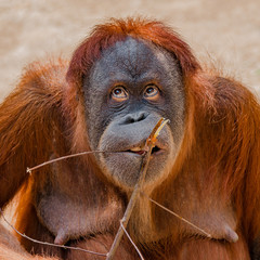 Portrait of funny Asian orangutan