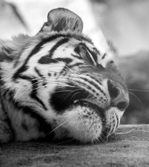 Sleeping tiger in black and white