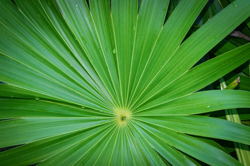 Real tropical leaves background, jungle foliage.