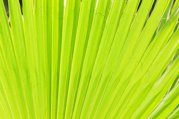 Sun shining through a tropical green leaf. Natural background, texture.