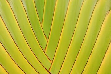 Real tropical leaves background, jungle foliage. Closeup, macro of Traveler's Palm, Fan Palm - Ravenala Madagascariensis.