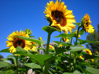 Big Yellow Sunflowers Against Bright Blue Sky
