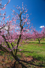 Southern Peach Orchard in Bloom