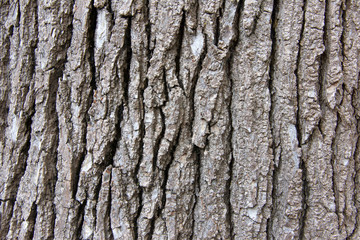Close up of bark texture on a sweet gum tree, a large, deciduous tree. commonly called sweetgum (sweet gum in the UK), gum, redgum, satin-walnut, or American storax. Common tree in Northern California