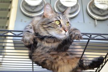 Pepper Cat