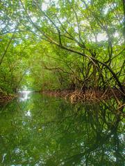 Mangrove swanmp
