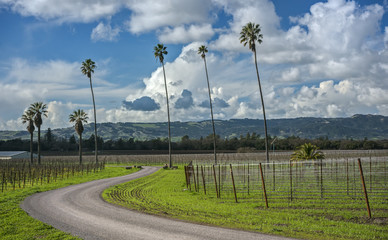A Curvy Road leads through Palm Trees and a California Vineyard on a Sunny Afternoon