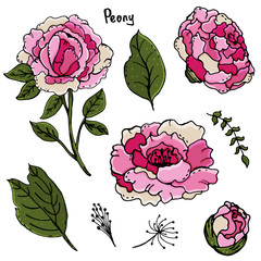 Peonies. Beautiful flowers. Manual drawing. Spring. A set of plants. For postcards, covers. Print on clothes.