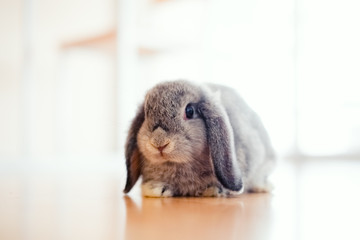 cute Baby Holland lop rabbit