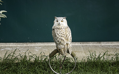 Owl in falconry