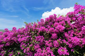 Violet Bougainvillea Flowers on a Blue Sky