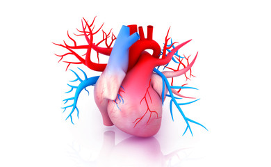 Human heart anatomy. 3d illustration.