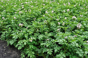 organically cultivated plantation of potato in the vegetable garden in bloom