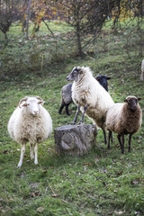 sheeps standing in the pasture.