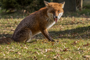 Red Fox Expressions