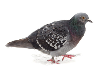 Pigeon sits on white snow in winter