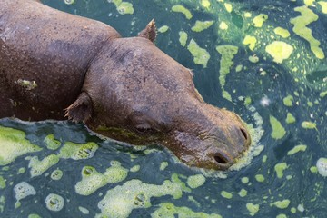 Pygmy hippopotamus in the water close up