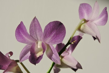 A purple orchid